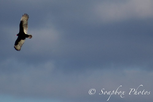 """Turkey Vulture Above Jakes Landing"""