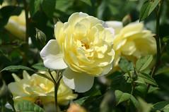 garden roses(1.0), floribunda(1.0), flower(1.0), yellow(1.0), rosa foetida(1.0), plant(1.0), flora(1.0), peony(1.0), rosa pimpinellifolia(1.0), petal(1.0),