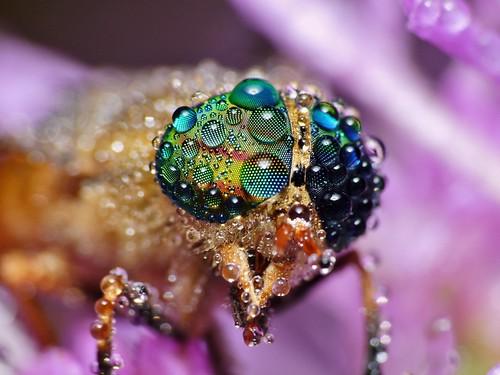 horse macro wet water colors beautiful beauty magazine insect lens photography fly drops rainbow eyes wildlife north panasonic dew carolina horsefly arthropod in dcr250 raynox tabanus winc lineola fz100
