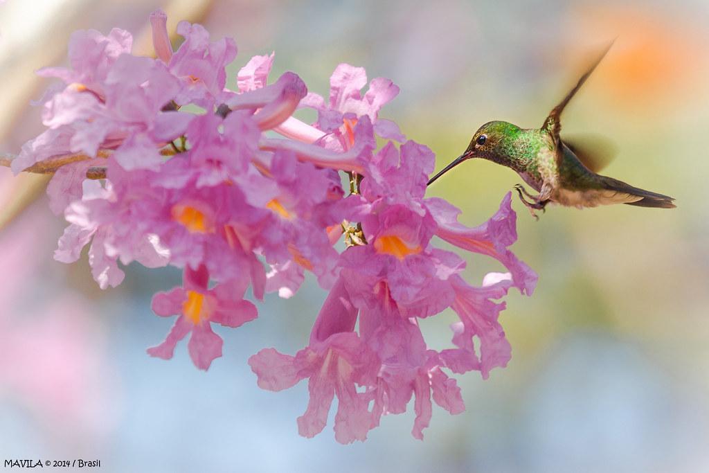 Beija-flor-de-fronte-violeta (Thalurania glaucopis)  Fêmea  -  Violet-capped Woodnymph