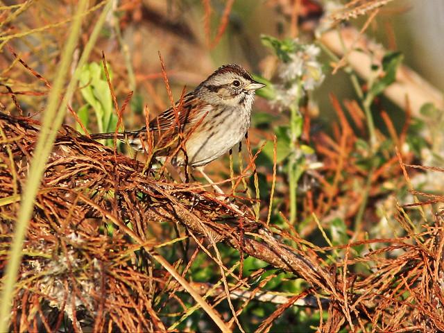 Swamp Sparrow 20141219
