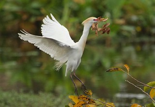 Cattle Egret-View Large