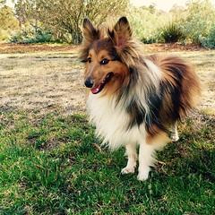 dog breed, animal, german spitz klein, dog, pet, mammal, scotch collie, rough collie, collie, shetland sheepdog,