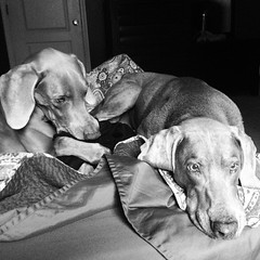 Good morning and happy Saturday from us to you. :kissing_heart: #weimaraner