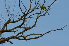 Parakeets in Bushy Park