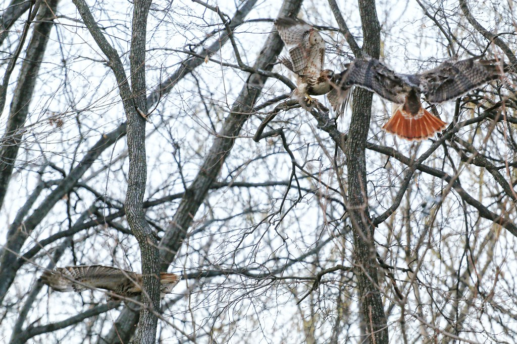 New Year's Day hawk fight