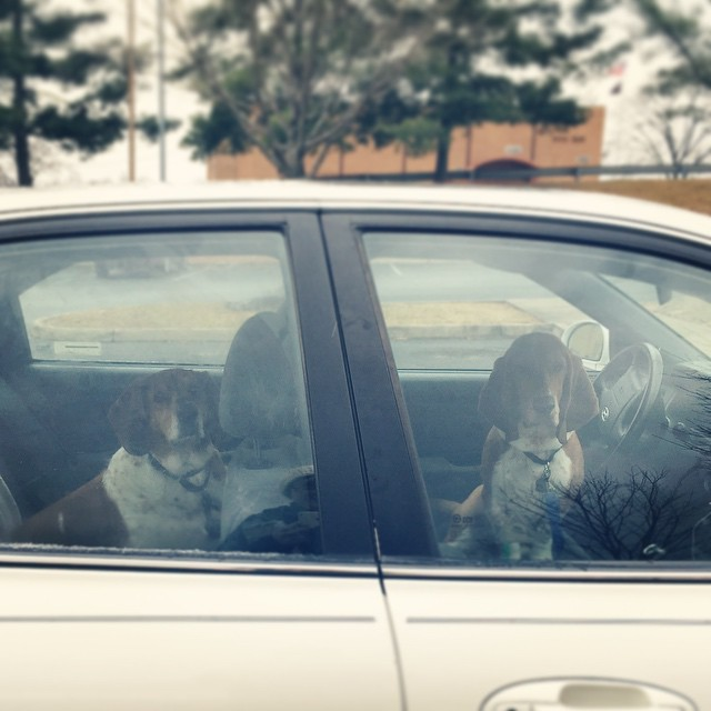 The real reason we got #raylanpup: Beau demanded a pup-chauffeur. #fancydog