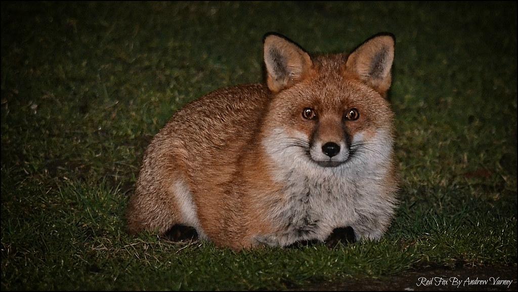 Red Fox 29/365