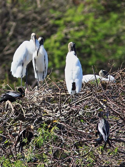 Wood Storks nesting 2-20150212