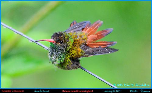 ecuador hummingbird colibri picaflor rufoustailedhummingbird amaziliatzacatl mindo pichincha amazilia chupaflor ecuadorbirds southamericanbirds neotropicalbirds ecuadorhummingbirds peterwendelken hummingbirdphotobypeterwendelken southamericanhummingbirds mindohummingbirds rufoustailedhummingbirdinecuador amaziliacolicastáño rufoustailedhummingbirdbathing