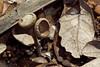 Live oak acorn remains