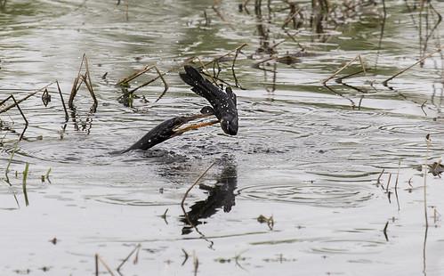 Water Turkey eating Catfish