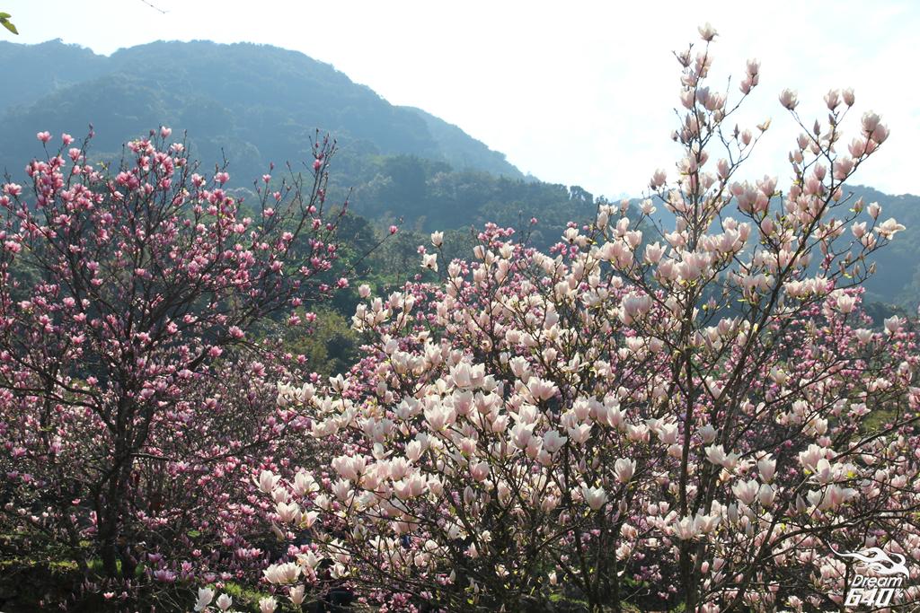 2015楓樹湖木蓮花29