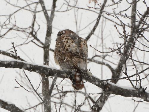 Snow Hawk - 6024