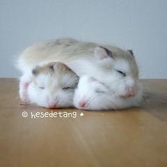 This is why God made brothers.. to be your pillows & cushions xD xD #hesedetanghamstery #hamster #hamsters #hamstergram #hamstagram #petsmagazinesg #pet #pets #ハムスター #hamstar #cute #clubpets #friendsofnekojam #horlickstheham #milodinosaurtheham