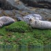 Harbour Seals by RussellK2013