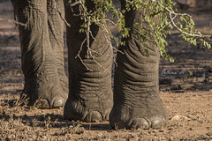 Elephants toes