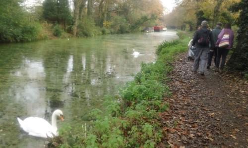 Canal swan