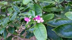 PereskiaGrandifolia_20141126_KokoCraterBG_Cutler_155610
