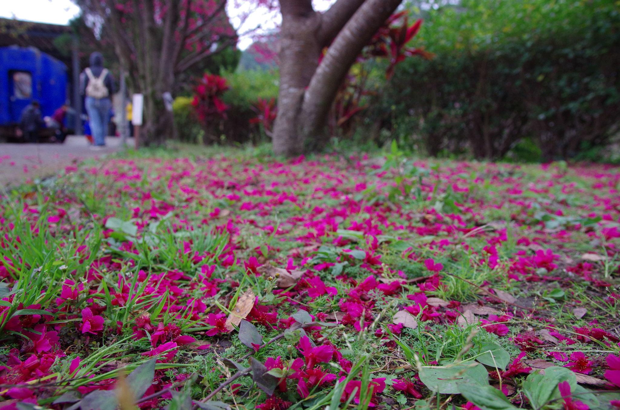 2015櫻花