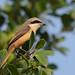 紅尾伯勞 Brown Shrike (Lanius cristatus) - adult male by Jerry Ting
