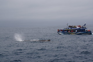 Sperm whale and boat