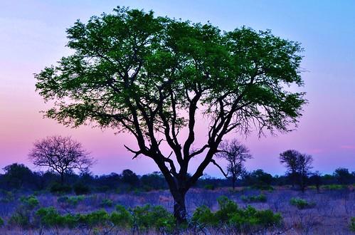africa sunset tree southafrica bush nikon african eveningsky mpumalanga d90 sabisands stevelamb nottensbushcamp