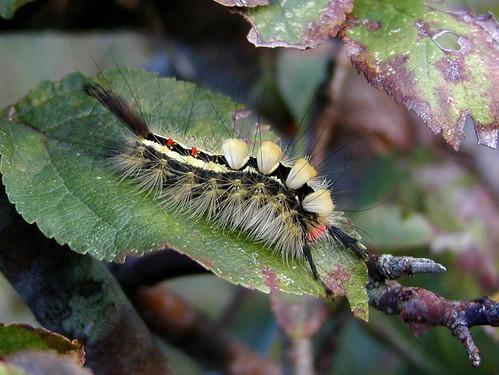 Orgyia leucostigma - White-Marked Tussock Moth