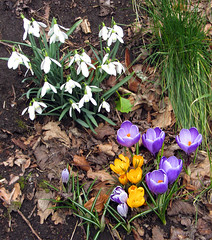 Crocuses and snowdrops.