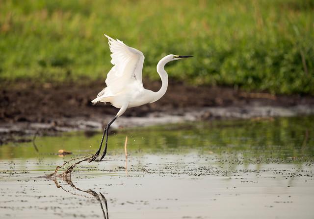 Great White Egret (Explored), Ardea alba, Casmerodius albus, (Ad. Br.) Msuna Fishing Camp, Zambezi River, Zimbabwe
