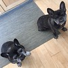 These two have mastered begging for cheese. Janie Sparkles & Decibelle Doughnutwould love a taste.