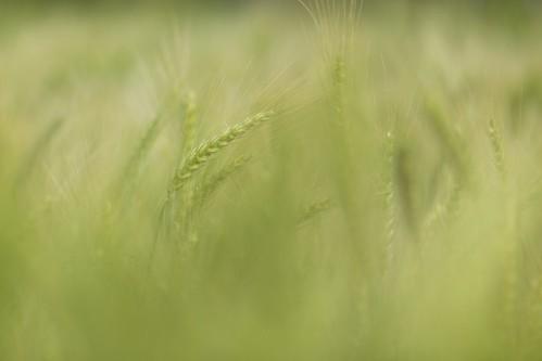 bokeh wheat taichung 小麥 台中 70200mm daya 小白兔 大雅 散景 青麥 ef70200mmf28isiiusm
