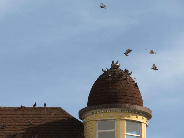 pigeons on the roof a house at Frederick and Stanyan; The Haight, San Francisco (2015)