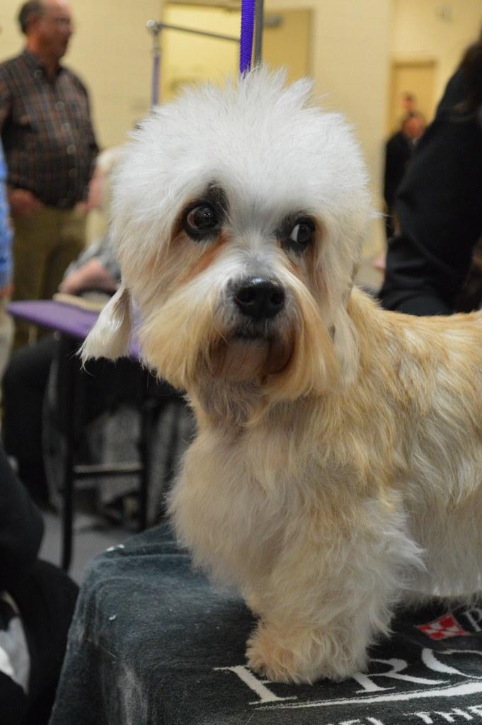 Dandie Dinmont Terrier - GCH King's Mtn. Angelina Ballerina 02