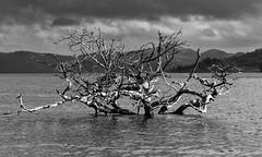 Tree SE BW-