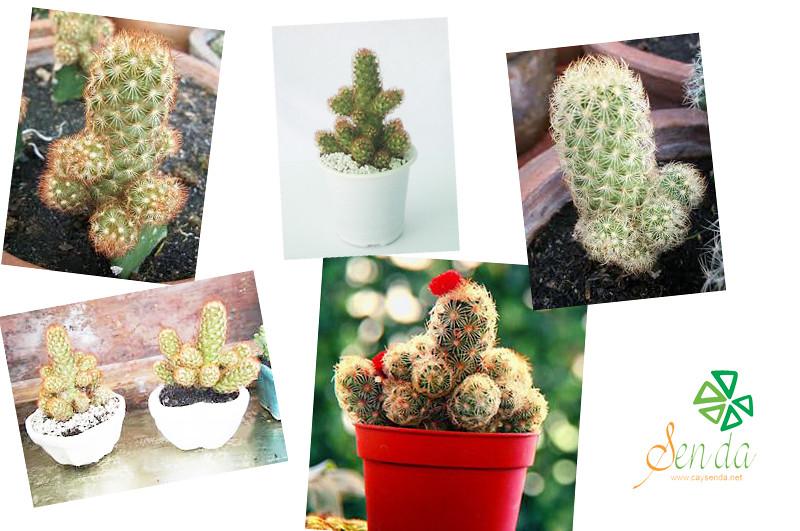 caysenda.com | sen da | xuong rong | tieu canh sen da | art plant | terrarium | xuong rong tuyet