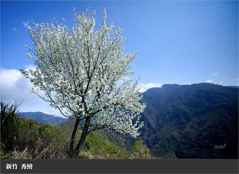 秀巒前的整樹白花