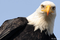 Bald Eagles - 2009/2010