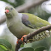 African Green-Pigeon / Papegaaiduif by Coenie's Photography