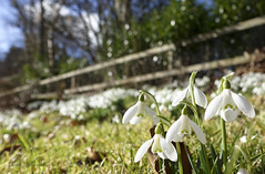 The snowdrop fence