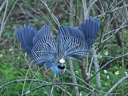 Yellow-crowned Night-Heron full display 2-20150311