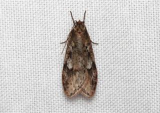 Semioscopis megamicrella - Hodges # 0915