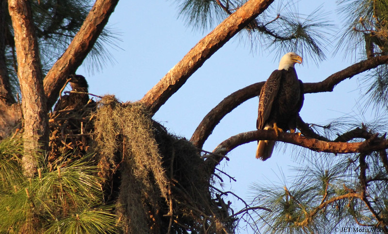 Mama & Baby Eagle
