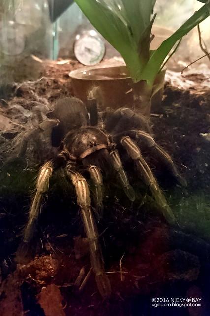 Tarantula - DSC_3003