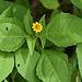 Small photo of Acmella uliginosa-- Marsh Para Cress