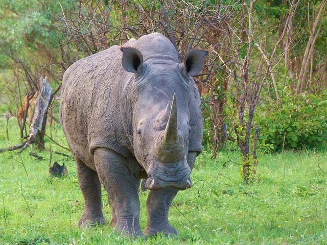 Rinoceronte en Sabi Sand, reserva privada dentro del Kruger National Park (Sudáfrica)