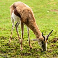 animal, antelope, springbok, mammal, grazing, fauna, pasture, grassland, gazelle, wildlife,