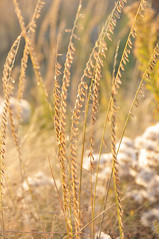 Side-oats Grama (Bouteloua curtipendula) Lacreek NWR