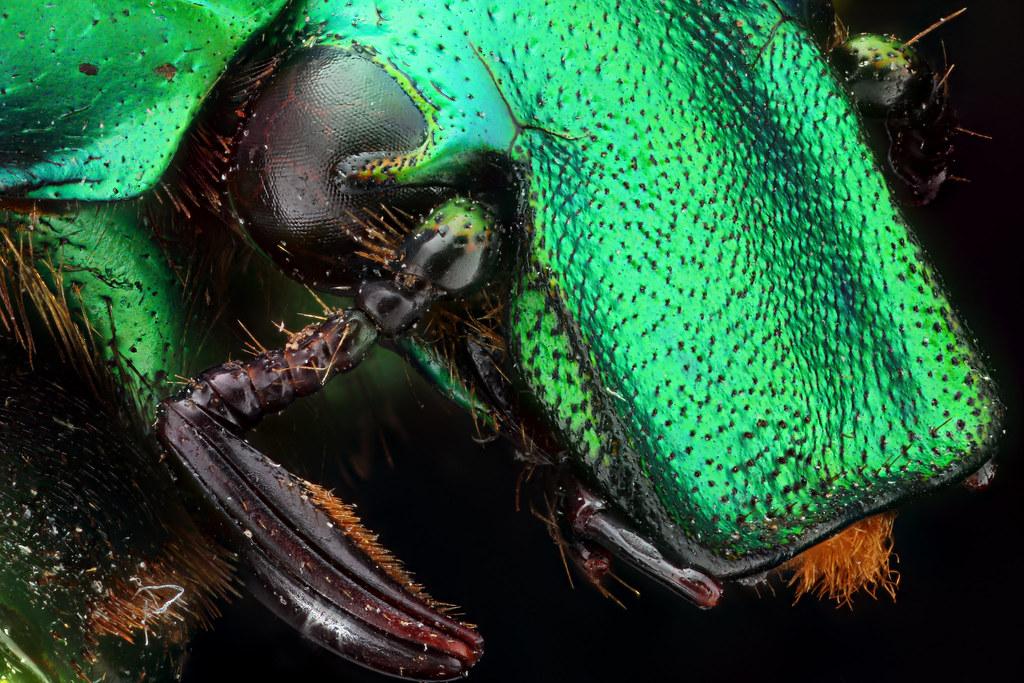 rhomborrhina_bossioni_vietnam_blue_beetle