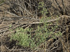 Nevada goosefoot, Chenopodium nevadense